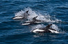 And feeding with the pilot whales and pursuing a large 'bait ball' were these three Hourglass Dolphins.  [Photo by guide George Armistead]