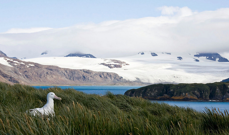 This Wandering Albatross had a nice view from Prion Island.  [Photo by guide George Armistead]