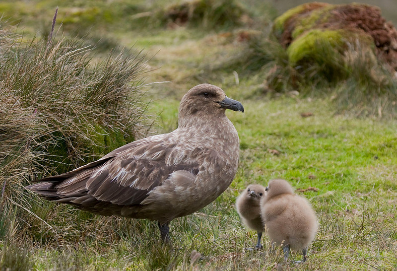 A less Darth Vader-like skua (Brown at S. Georgia) with some cute downy chicks.  [Photo by guide George Armistead]