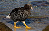 Female Kelp Goose on the Falklands [Photo by guide George Armistead]