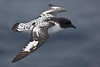 Common and beautiful, the Cape Petrel was one of the most popular birds on our trip.  [Photo by guide George Armistead]