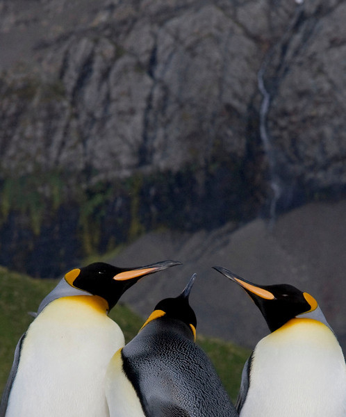 These King Penguins at Gold Harbor, South Georgia, appear to be having a meeting of the minds.  [Photo by guide George Armistead]