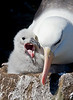 Black-browed Albatross and chick on the Falklands. [Photo by guide George Armistead]