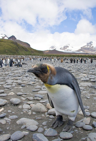 Young King Penguins are especially curious.  [Photo by guide George Armistead]