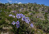 """The large, showy flowers of <em>Vellozia flavicans</em> synchronously burst open on rocky <em>cerrado</em> outcrops... but only following grassland fires and ample rainfall.  So don't hold your breath, but do keep your fingers crossed!<br><div id=""""caption_tourlink"""" align=""""right""""> [photo © guide Bret Whitney]</div>"""