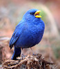 """Yellow-billed Blue Finch is one of those aptly descriptive bird names.  It is a sparse inhabitant of Brazilian <em>cerrados</em>, often performing singing display flights after summer rains.<br><div id=""""caption_tourlink"""" align=""""right""""> [photo © guide Bret Whitney]</div>"""