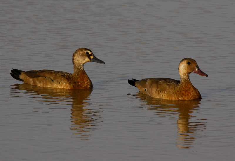 "Brazilian Ducks (female on the left) look sort of dull until they fly and show their wings. <div id=""caption_tourlink"" align=""right"">[photo © guide George Armistead]</div>"