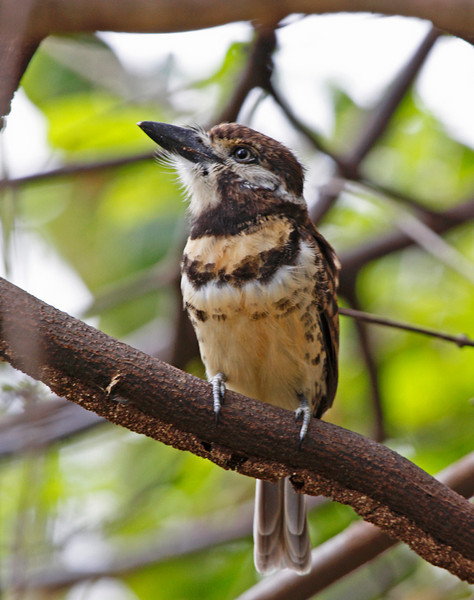 "Here's a selection of photographs by guide George Armistead from our inaugural Birding & Photography tour to Venezuela's llanos.  In this image is a Russet-throated (Two-banded) Puffbird. <div id=""caption_tourlink"" align=""right"">[photo © guide George Armistead]</div>"