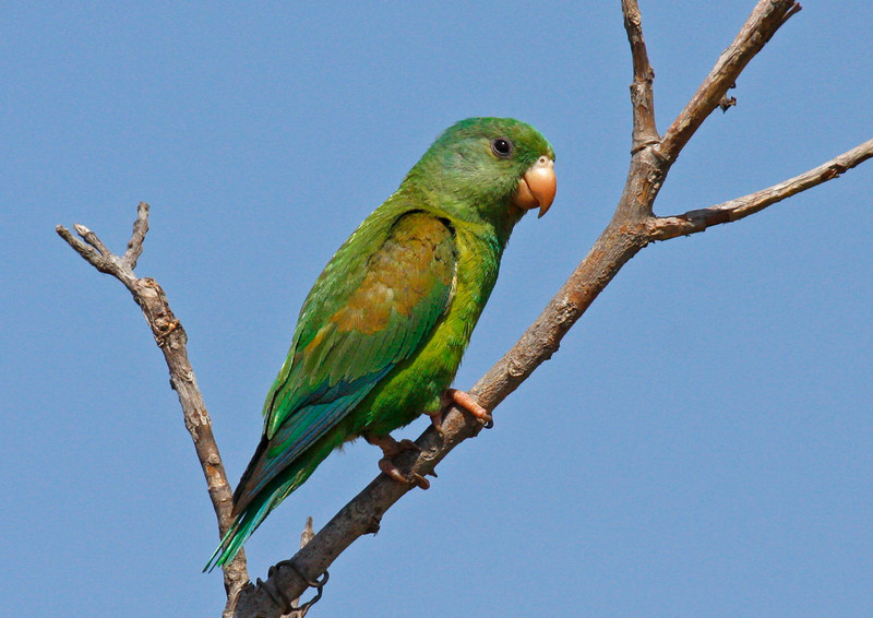 "Orange-chinned Parakeet <div id=""caption_tourlink"" align=""right"">[photo © guide George Armistead]</div>"