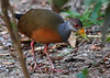 "Gray-necked Wood-Rail <div id=""caption_tourlink"" align=""right"">[photo © guide George Armistead]</div>"