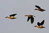 "Brazilian Ducks <div id=""caption_tourlink"" align=""right"">[photo © guide George Armistead]</div>"