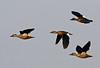 "Brazilian Ducks <div id=""caption_tourlink"" align=""right"">[photo © guide George Armistead]</div>"