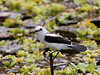 "A Pied Water-Tyrant finds a meal. <div id=""caption_tourlink"" align=""right"">[photo © guide George Armistead]</div>"