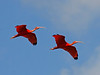 "A pair of Scarlet Ibis glide in. <div id=""caption_tourlink"" align=""right"">[photo © guide George Armistead]</div>"