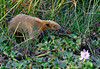 "This Southern Tamandua was perambulating around a marshy spot at Hato Cedral. Unlike their bigger anteater cousins, tamanduas still have vestigial teeth. <div id=""caption_tourlink"" align=""right"">[photo © guide George Armistead]</div>"