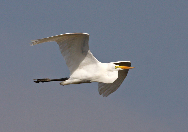 "A familiar friend, a Great Egret wings past us at Cedral. <div id=""caption_tourlink"" align=""right"">[photo © guide George Armistead]</div>"