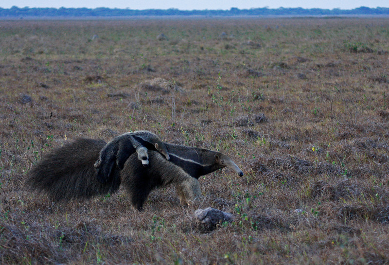 "Giant Anteater carrying young across the savanna at dusk. This species and the pangolins of Asia and Africa are unusual in that they lack teeth. <div id=""caption_tourlink"" align=""right"">[photo © guide George Armistead]</div>"