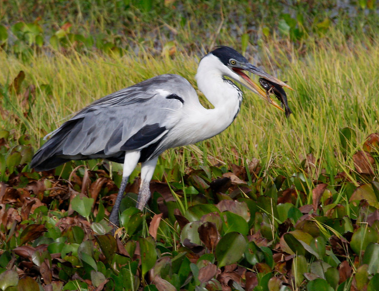 """A Cocoi Heron chokes down a fish.  It was a great trip for birding <em>and</em> photography.  Thanks for having a look through the photos! <div id=""""caption_tourlink"""" align=""""right"""">[photo © guide George Armistead]</div>"""