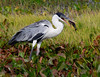 "A Cocoi Heron chokes down a fish.  It was a great trip for birding <em>and</em> photography.  Thanks for having a look through the photos! <div id=""caption_tourlink"" align=""right"">[photo © guide George Armistead]</div>"