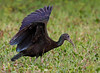 """Several Green Ibis that we saw almost appeared to be canopy-feeding, raising their wings perhaps to startle prey or to see it better. <div id=""""caption_tourlink"""" align=""""right"""">[photo © guide George Armistead]</div>"""