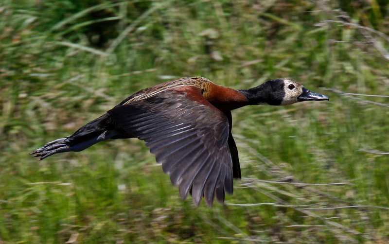"White-faced Whistling-Duck. A tad smaller than their brethern Black-bellied. <div id=""caption_tourlink"" align=""right"">[photo © guide George Armistead]</div>"