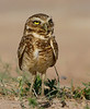 "A Burrowing Owl at Hato Cedral. <div id=""caption_tourlink"" align=""right"">[photo © guide George Armistead]</div>"