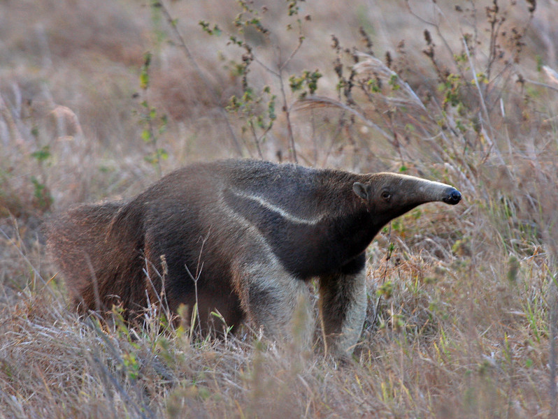 """The magnificent Giant Anteater <div id=""""caption_tourlink"""" align=""""right"""">[photo © guide George Armistead]</div>"""