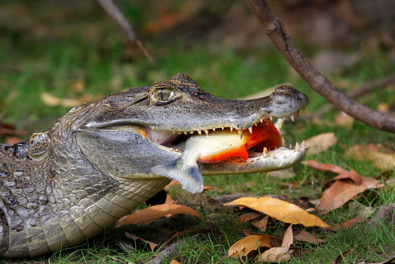 "A Spectacled Caiman makes a meal of a piranha. <div id=""caption_tourlink"" align=""right"">[photo © guide George Armistead]</div>"