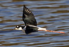 "Black-necked Stilt <div id=""caption_tourlink"" align=""right"">[photo © guide George Armistead]</div>"