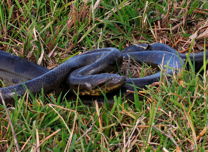 """This was the second of two Anacondas we found one day at Hato Cedral. This female was the bigger of the two and about three meters long. <div id=""""caption_tourlink"""" align=""""right"""">[photo © guide George Armistead]</div>"""