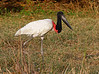 "Jabiru out for a stroll. <div id=""caption_tourlink"" align=""right"">[photo © guide George Armistead]</div>"