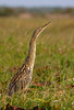 "Hato Cedral is a good place to see the widespread yet uncommon Pinnated Bittern. <div id=""caption_tourlink"" align=""right"">[photo © guide George Armistead]</div>"