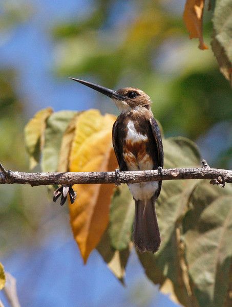 "The Pale-headed Jacamar is confined to Venezuela and Colombia. We had a pair near a nest site. <div id=""caption_tourlink"" align=""right"">[photo © guide George Armistead]</div>"
