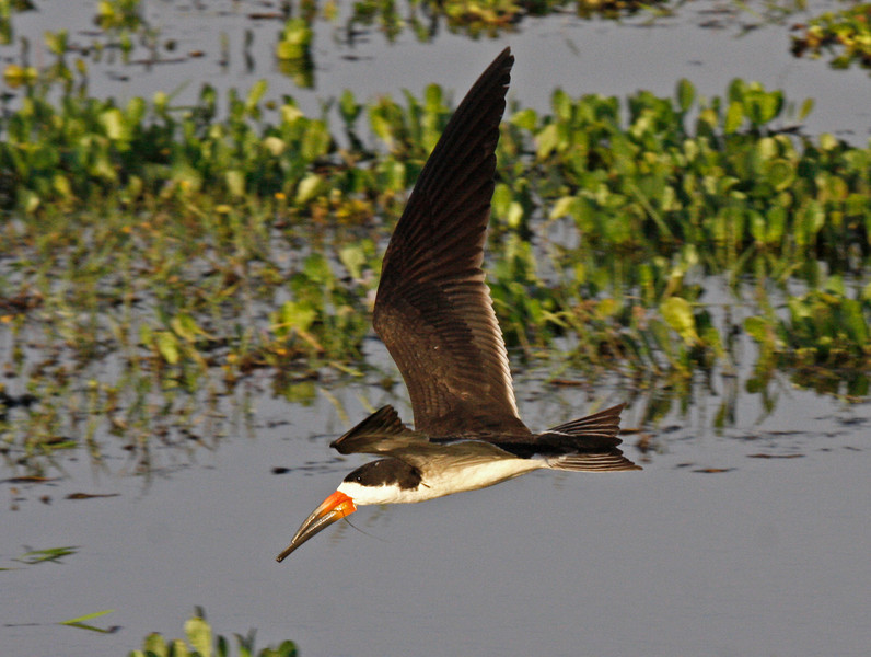 "The <em>cinerescens</em> subspecies of Black Skimmer is largely a freshwater bird compared to the nominate North American form, which is strictly coastal. Combine that with the darker underwings and the darker tail and it is perhaps better treated as a separate species. <div id=""caption_tourlink"" align=""right"">[photo © guide George Armistead]</div>"