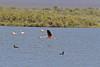 Chilean Flamingo (Photo by guide Marcelo Padua)