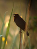 "A Chestnut-capped Blackbird squeaks and churrs with the first rays of the morning sun.  <div id=""caption_tourlink"" align=""right""> [Photo © Dan Lane]</div>"