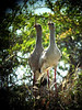 """Like Velociraptors from <em>Jurassic Park</em>, this pair of Red-legged Seriemas came in close to see who was singing in their territory. Their own duet soon followed (much to our delight!).  <div id=""""caption_tourlink"""" align=""""right""""> [Photo © Dan Lane]</div>"""