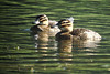 "A duo of female Masked Ducks on Laguna Volcan. <div id=""caption_tourlink"" align=""right""> [Photo © Dan Lane]</div>"