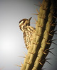 """Bolivia's version of a Ladder-backed Woodpecker is this similar Striped Woodpecker.  <div id=""""caption_tourlink"""" align=""""right""""> [Photo © Dan Lane]</div>"""