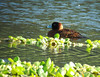 """Laguna Volcan is perhaps the most reliable place to see Masked Ducks such as this fine male.  <div id=""""caption_tourlink"""" align=""""right""""> [Photo © Dan Lane]</div>"""