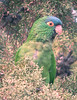 "Blue-crowned Parakeet of the pink-billed intermontane valley form endemic to Bolivia.<div id=""caption_tourlink"" align=""right""> [photo © guide Alvaro Jaramillo]</div>"