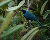"""A White-collared Jay gives the group a good dose of the blues. <div id=""""caption_tourlink"""" align=""""right""""> [photo © guide Dan Lane]</div>"""