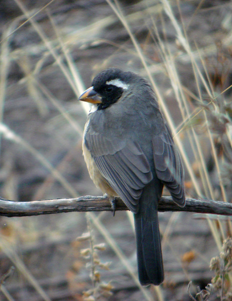 "Golden-billed Saltator<div id=""caption_tourlink"" align=""right""> [photo © guide Dan Lane]</div>"