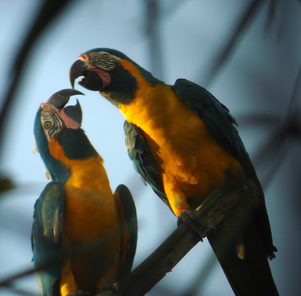 "Blue-throated Macaws: The stars of the extension, this pair of macaws showed us the meaning of true love. <div id=""caption_tourlink"" align=""right""> [photo © guide Dan Lane]</div>"