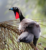 """Our next Iguazu bird, the amazing Black-fronted Piping-Guan, is an Atlantic Forest endemic severely threatened in much of its now-shrunken range; we don't get to see it every trip (perhaps two out of three visits), but it's a celebrated prize if we do find one!<div id=""""caption_tourlink"""" align=""""right""""> [photo © guide John Rowlett]</div>"""