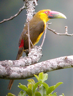 "On the larger end of the spectrum of specialties are two toucans, the unusual Saffron Toucanet, pictured here...<div id=""caption_tourlink"" align=""right""> [photo © guide John Rowlett]</div>"