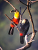 "...and the brightly patterned Red-breasted Toucan. This pair spent some time preening each other in the sunlight right outside the hotel our last morning on a recent tour.<div id=""caption_tourlink"" align=""right""> [photo © guide Dan Lane]</div>"