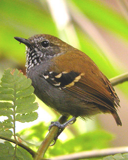 "...and Star-throated Antwren, occurring in pairs in forest understory and a beautiful little bird to see well.<div id=""caption_tourlink"" align=""right""> [photo © guide John Rowlett]</div>"