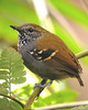 """...and Star-throated Antwren, occurring in pairs in forest understory and a beautiful little bird to see well.<div id=""""caption_tourlink"""" align=""""right""""> [photo © guide John Rowlett]</div>"""