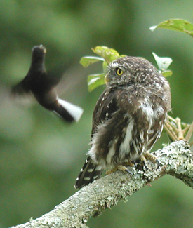 "A local pair of Ferruginous Pygmy-Owls also like the feeders area...might be easy pickings for a meal! Of course, the hummers have them figured out and love to hassle them, as the Black Jacobin is doing above.<div id=""caption_tourlink"" align=""right""> [photo © guide Jan Pierson]</div>"